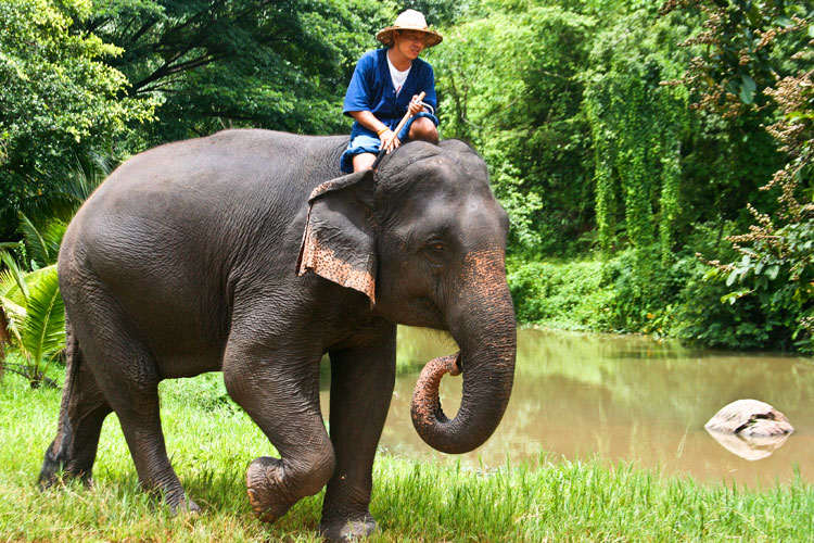 thai elephants and its significant to Thai police have arrested a thai police arrest suspected wildlife trafficking kingpin before it introduced the elephant ivory act of 2014 and 2015 to.